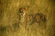 Endangered Cheetahs Art - A Cheetah Growls At The Camera. The by Beverly Joubert