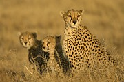 Endangered Cheetahs Art - A Cheetah Mother And Her Two Cubs by Roy Toft