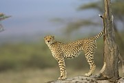 Endangered Cheetahs Art - A Cheetah With Raised Tail Stands by Roy Toft
