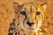 Cheetah Photo Posters - A Cheetahs Eyes Poster by Tom Cheatham