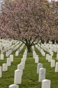 National Cemetery Posters - A Cherry Tree Blooms In Arlington Poster by Greg Dale