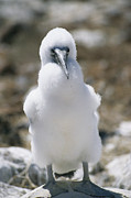 Boobies Metal Prints - A Chick Blue Footed Booby Sits Metal Print by Gina Martin