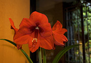 S Amaryllis Prints - A Christmas Regular Print by Dick Jones
