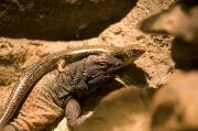 Desert Dome Photos - A Chuckwalla Lizard And A Skink by Joel Sartore