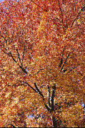 Autumn Scenes Prints - A Claret Ash Tree In Its Autumn Colors Print by Jason Edwards