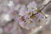 Cherry Blossom Prints - A Close Up Of A Cherry Blossom Print by Hannele Lahti