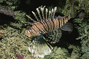Lionfish Framed Prints - A Close-up Of A Lionfish Genus Pterois Framed Print by Carsten Peter