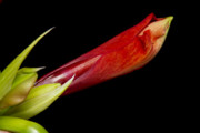 James BO  Insogna - A close Up of an  Colorful Orange Amaryllis about to Bloom