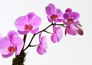 Pink Flower Branch Prints - A Close-up Of An Orchid Branch Print by Nicholas Eveleigh