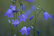 Periwinkle Flowers Posters - A Close Up Of Mountain Hairbells Dietes Poster by Ralph Lee Hopkins