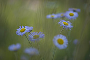 Santa Fe National Forest Photos - A Close Up Of Purple Aster And Daisy by Ralph Lee Hopkins