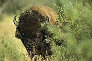 Animal Behavior Art - A Close-up View Of An American Bison by Raymond Gehman