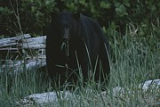 Bears Island Photos - A Close View Of A Black Bear Standing by Joel Sartore
