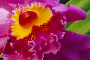 A Close View Of A Bright Pink Cattleya Print by Jonathan Blair