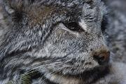 Lynxes Photos - A Close View Of A Canadian Lynx Lynx by Paul Nicklen