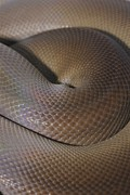 Olive Skin Posters - A Close View Of A Coiled Olive Python Poster by Jason Edwards