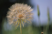 Pods Framed Prints - A Close View Of A Dandelion Seed Head Framed Print by Heather Perry