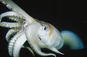 Giant Squid Framed Prints - A Close View Of A Giant Or Humboldt Framed Print by Brian J. Skerry
