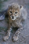 Endangered Cheetahs Art - A Close View Of A Juvenile African by Tino Soriano