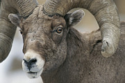 Rocky Mountain States Posters - A Close View Of A Male Bighorn Sheep Poster by Tom Murphy