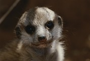 South Africa Prints - A Close View Of A Meerkat Suricata Print by Mattias Klum