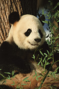 Animal Portraits Prints - A close view of a panda Print by Taylor S. Kennedy