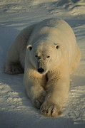 Snow Scenes Metal Prints - A Close View Of A Polar Bear Resting Metal Print by Tom Murphy