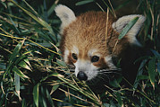 Perth Zoo Prints - A Close View Of A Red Panda Print by Nick Caloyianis