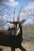 A Close View Of A Sable Antelope Print by Beverly Joubert