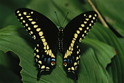 Swallowtail Butterflies Framed Prints - A Close View Of A Tiger Swallowtail Framed Print by Medford Taylor