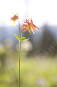 British Columbia Prints - A Close View Of A Western Columbine Print by Taylor S. Kennedy