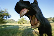 Humorous Photographs Posters - A Close View Of A Yawning Horses Wide Poster by Rich Reid