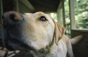 Labrador Retriever Photos - A Close View Of A Yellow Labrador by Heather Perry