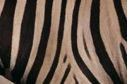 Close Views Framed Prints - A Close View Of A Zebras Stripes Framed Print by Michael Nichols