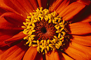Zinnias Photos - A Close View Of A Zinnia Hybrid by Jonathan Blair