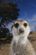 Republic Of South Africa Prints - A Close View Of An Adult Meerkat Print by Mattias Klum