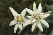 Plants Framed Prints - A Close View Of An Edelweiss Flower Framed Print by Norbert Rosing