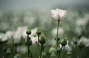 Poppy Fields Posters - A Close View Of Opium Poppy Flowers Poster by Jason Edwards