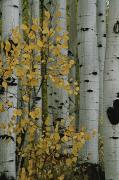 Quaking Aspen Photos - A Close View Of The Autumn Foliage by Marc Moritsch