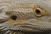 Lizards Photos - A Close View Of The Head Of A Central by Jason Edwards