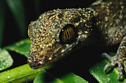 Madre Posters - A Close View Of The Head Of A Gecko Poster by Tim Laman