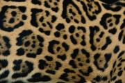 Jaguars Photo Framed Prints - A Close View Of The Markings Framed Print by Steve Winter