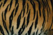 The Tiger Metal Prints - A Close View Of The Patterned Skin Metal Print by Michael Nichols