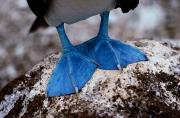 A Close View Of The Webbed Feet Print by Tim Laman