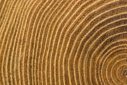 Forests Prints - A Close View Of Tree Rings Print by Taylor S. Kennedy
