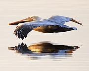 Pelican Prints - A Closer Look Print by Janet Fikar