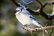 Blue Jays Prints - A Closeup Of A Blue Jay Cyanocitta Print by Tim Laman