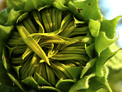Plant Physiology Prints - A Closeup Of A Sunflower Bud Not Yet Print by Amy White & Al Petteway
