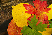 Urban Scenes Prints - A Closeup Of Autumn Leaves Print by Ralph Lee Hopkins