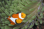 Damselfish Framed Prints - A Clown Anemonefish Amid The Stinging Framed Print by Wolcott Henry
